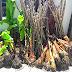 Kenali jenis-jenis pokok pisang : Sungguh mengelirukan!