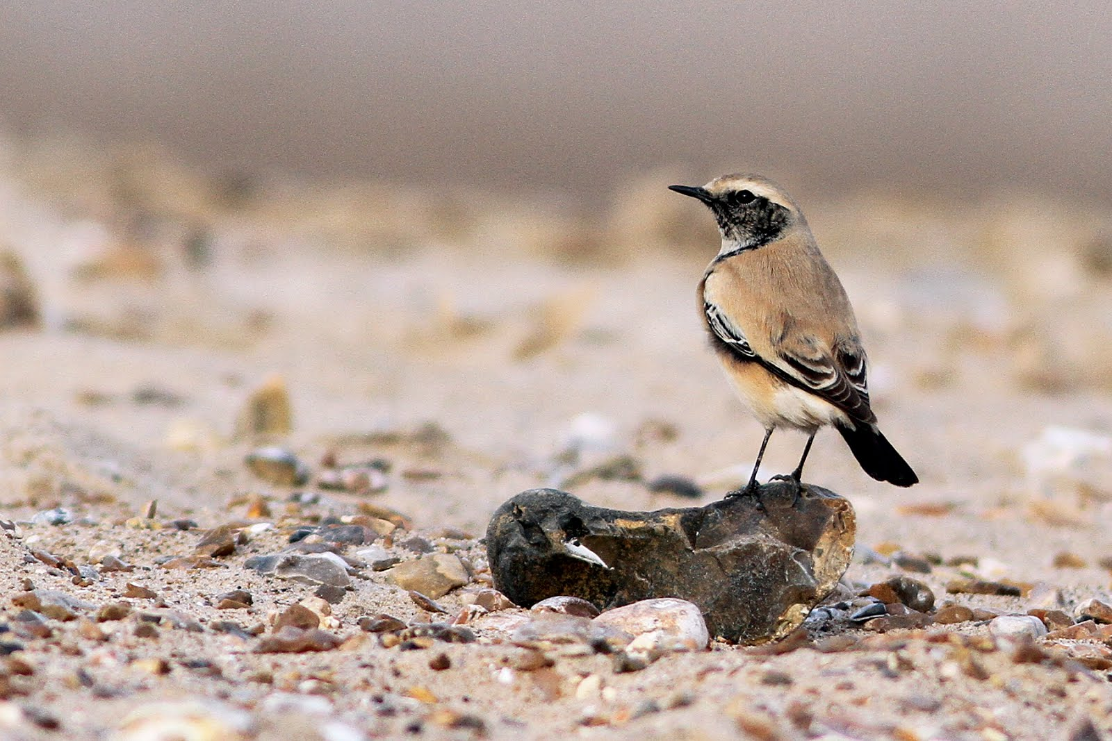 DESERT WHEATEAR