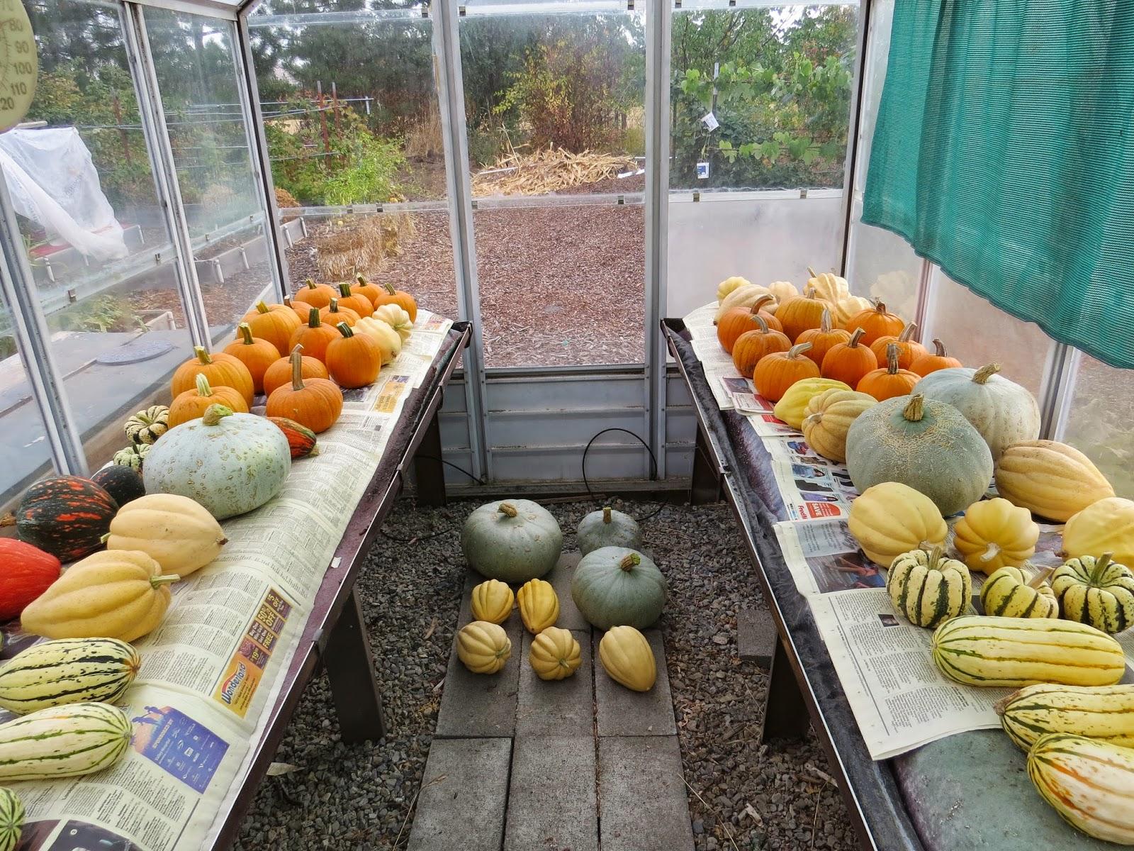 winter squash and pumpkin harvest susan u0027s in the garden