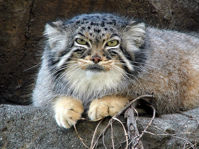 Manul The Cat That Time Forgot The Ark In Space