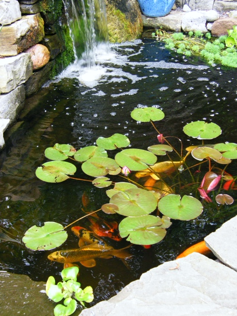 Jim the fishman 5 fantastic koi pond photos for Golden ornamental pond fish crossword