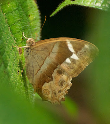 Common Red Forester (Lethe mekara gopaka)