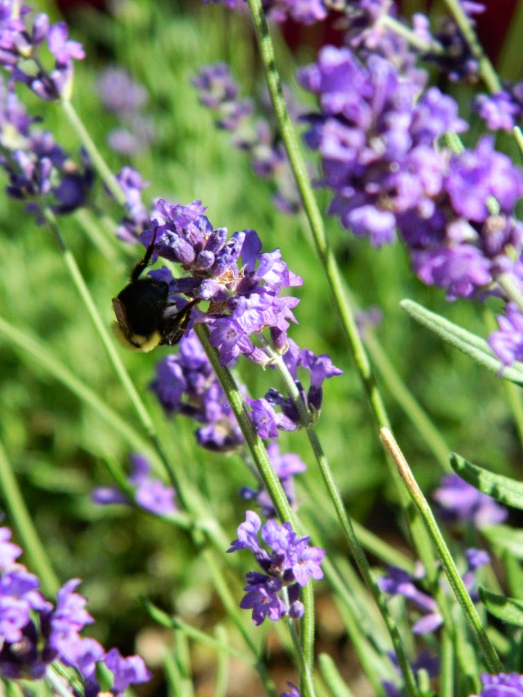 English lavender Lavandula angustifolia Hidcote Alexander Muir Memorial Gardens by garden muses-not another Toronto gardening blog