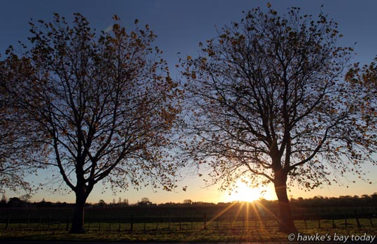 Sunny autumn weather, late afternoon sun, back-lit vines, silhouettes, Haumoana Rd, Haumoana photograph