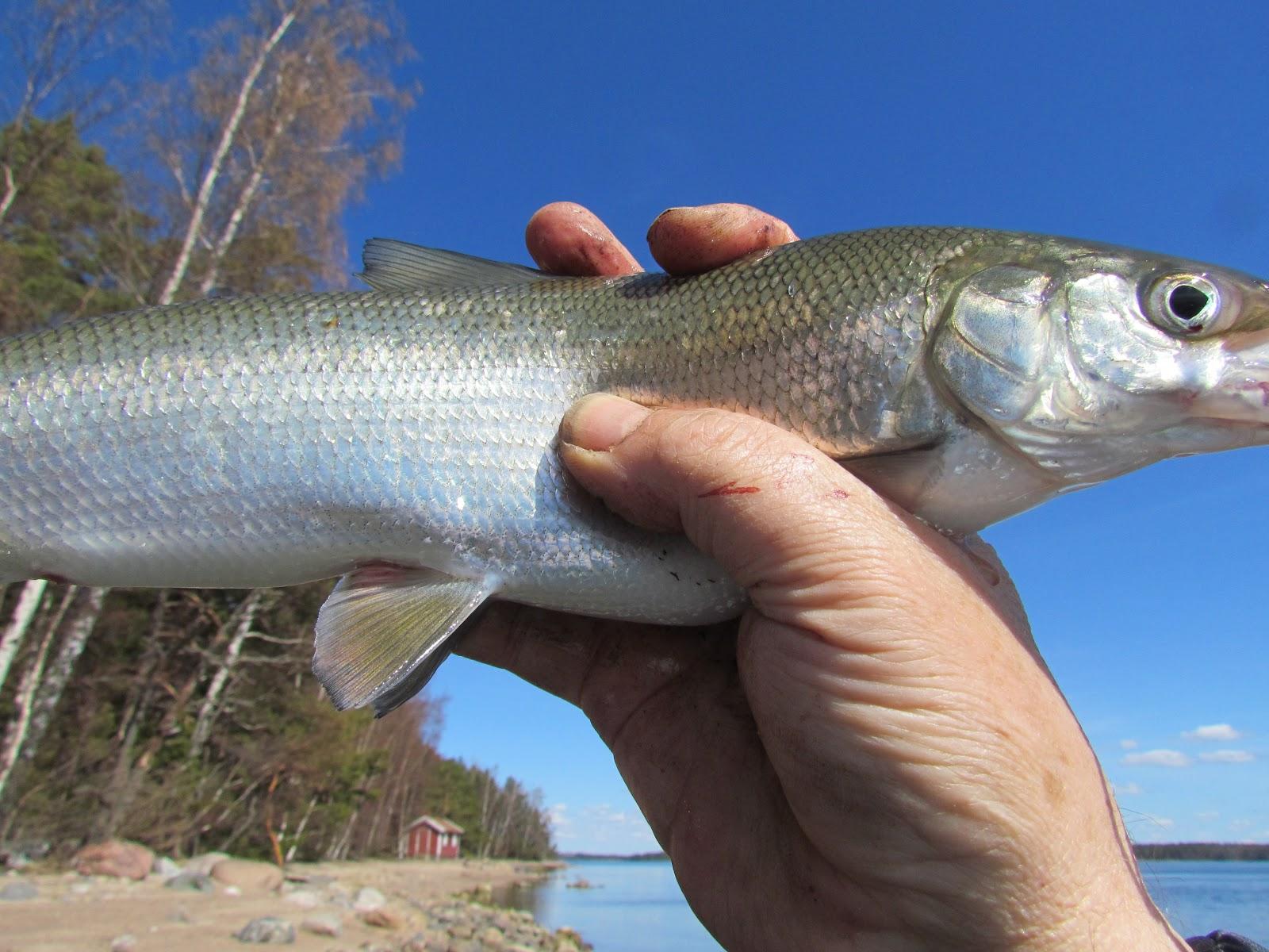 White fish coregonus lavaretus balikcim fako for Pictures of white fish