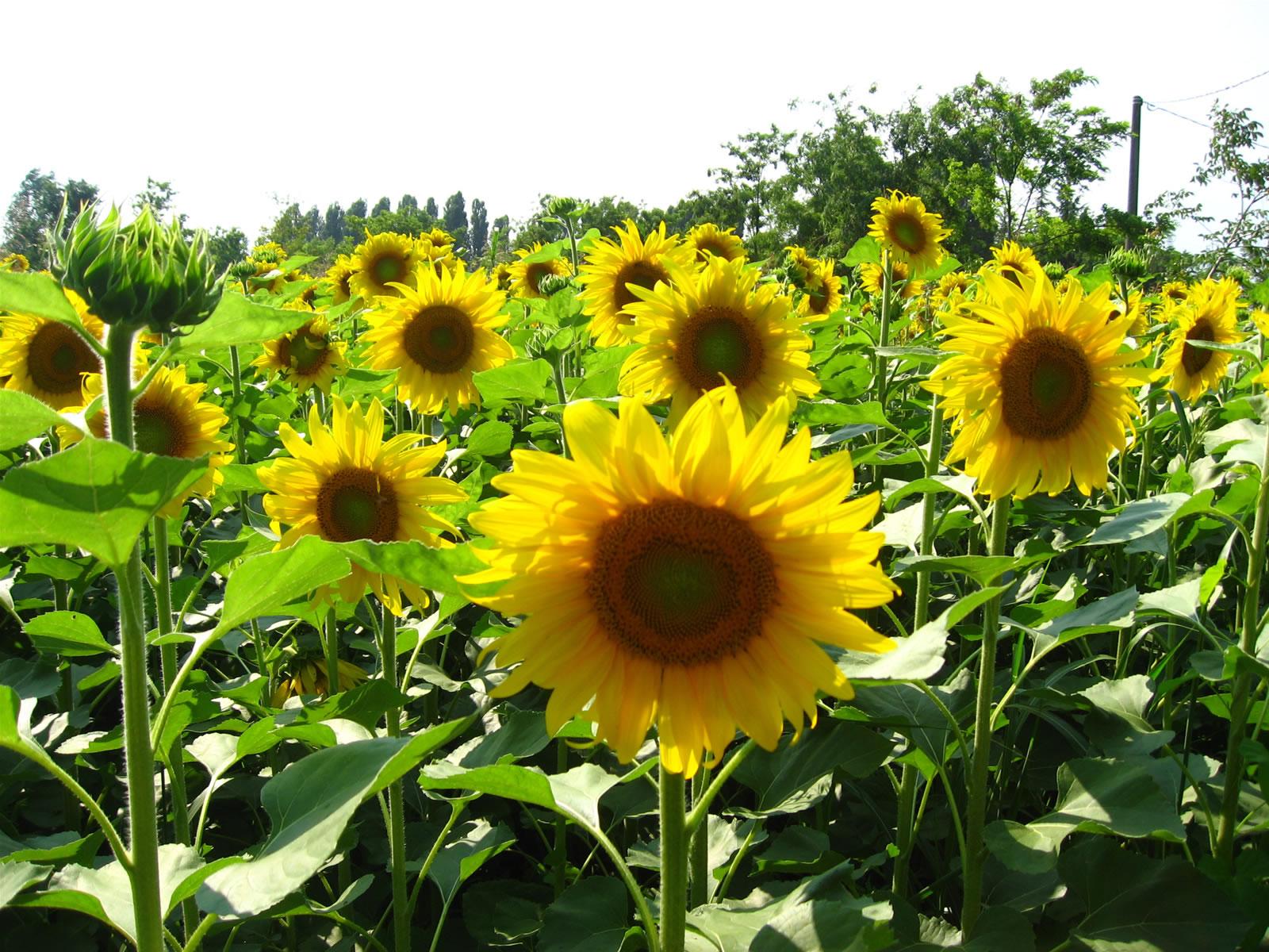 Sun flower Free Stock s