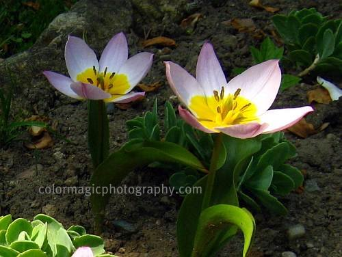 Tulipa Bakeri-Lilac Wonder-tulip photo