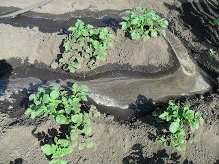 Поливаю картофель способом наполнения водой междурядий