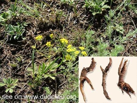Bupleurum scorzoneraefollium wild
