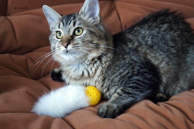 красивая породистая кошка