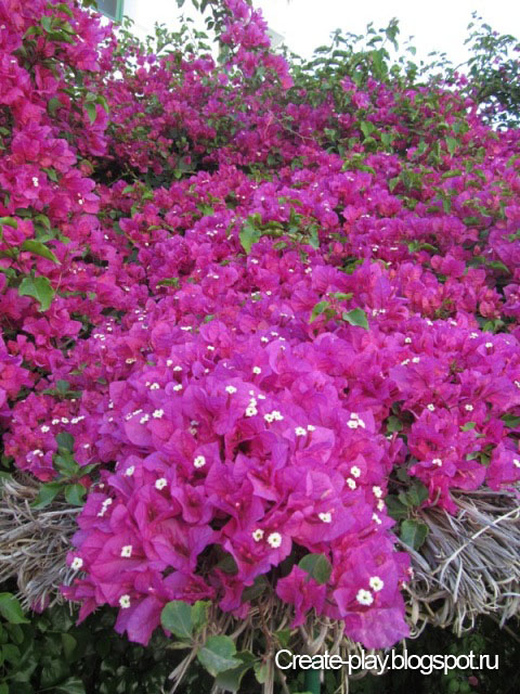 бугенвиллия цветет
