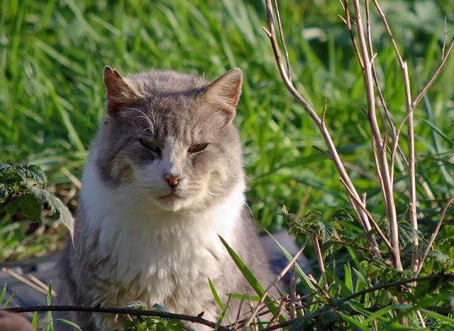 Gray tabby tux bobtail feral cat, Gray Bob