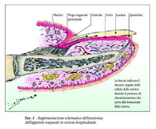 rappresentazione schematica anatomia dell'apparato unghiale in sezione longitudinale