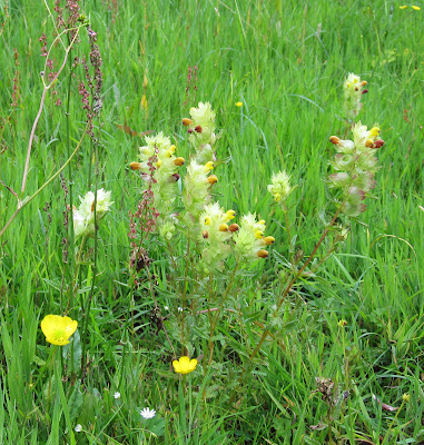 Greater yellow rattle, Rhinanthus angustifolius.  An invasive species, perhaps imported from Jubilee Country Park like the corky-fruited water dropwort. The other flowers in the photo are common sorrel, meadow buttercup and lesser stitchwort.  Keston Common grassland walk, led by Judy John.  15 June 2011.