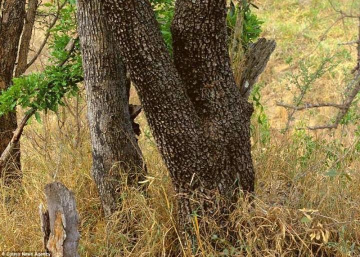 Zeka Sorusu: Resimdeki Leopar Nerede? Leopar'ı bulabilecek misiniz?
