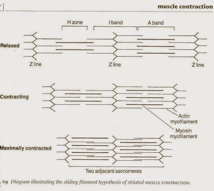 Human Body Flow Diagram Mania Muscle Contraction