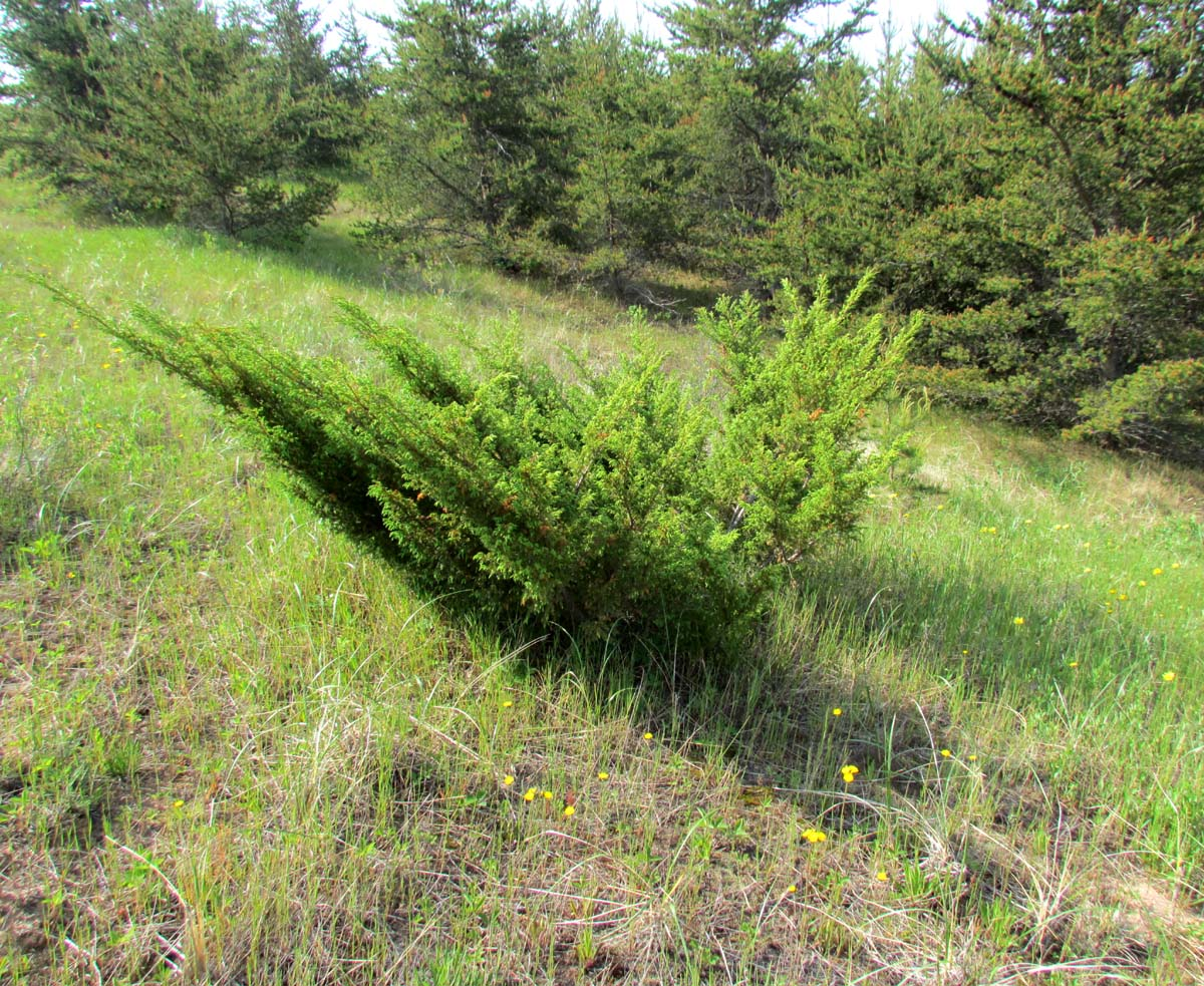 The agatelady adventures and events more dunes plants for The juniper