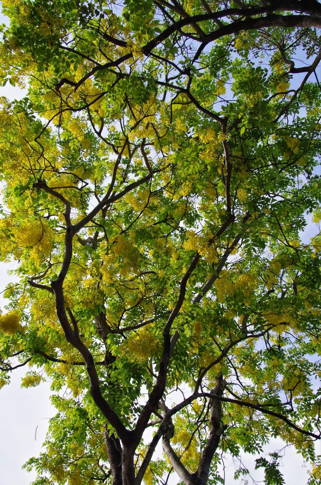 trees and plants cassia fistula i