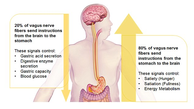 The microchip can be attached to the vagus nerve, through which it sends electrical signals to the brain to reduce appetite