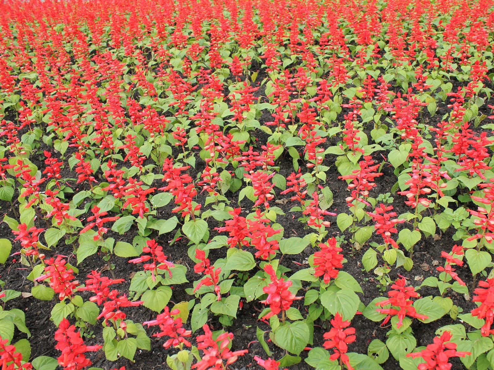 rosas plantas jardim:Ideias para o Jardim: Flores para jardim