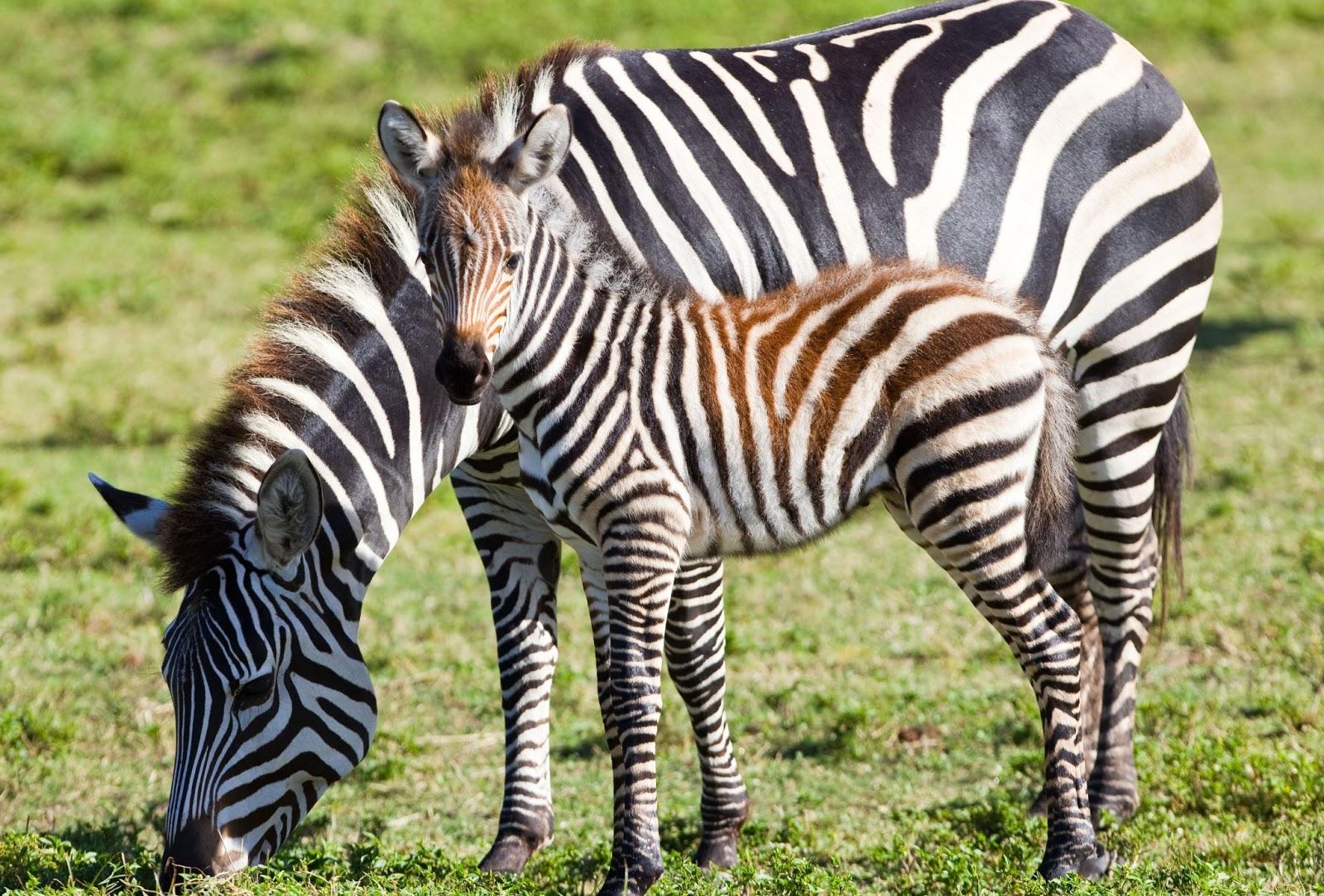 Http Wildlifeanimalz Blogspot Com 2013 04 Grevys Zebra Facts Html