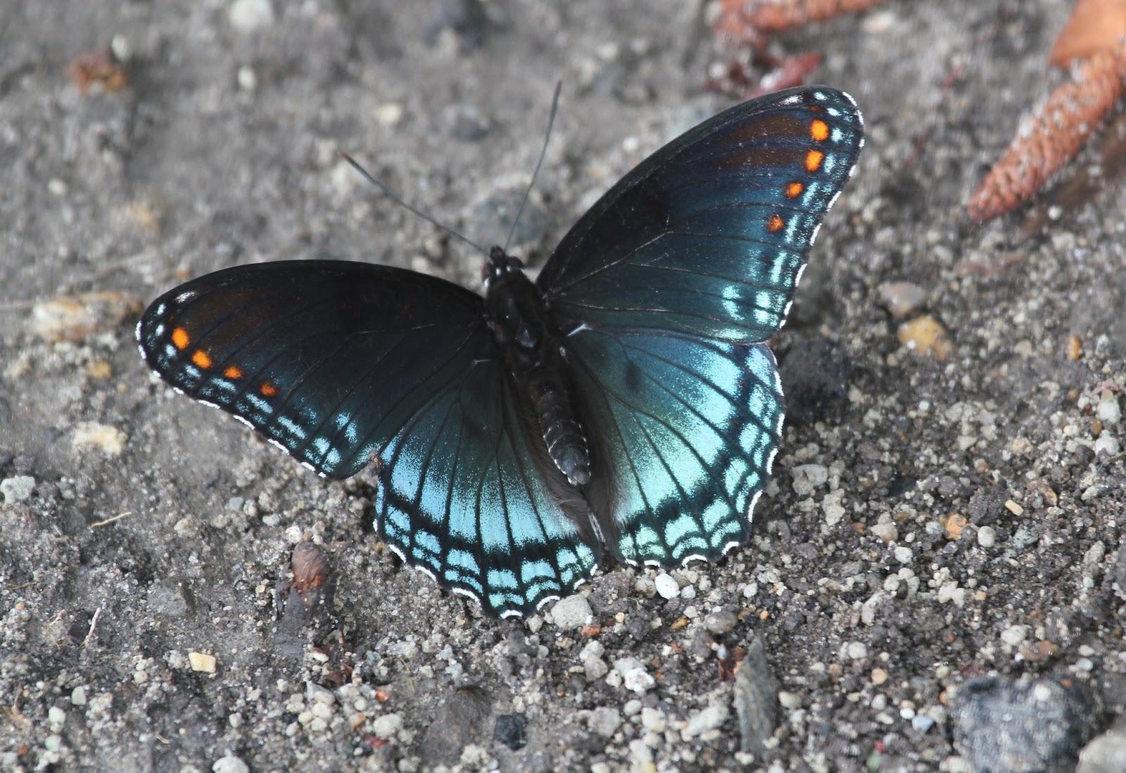 black and blue butterfly species wwwpixsharkcom