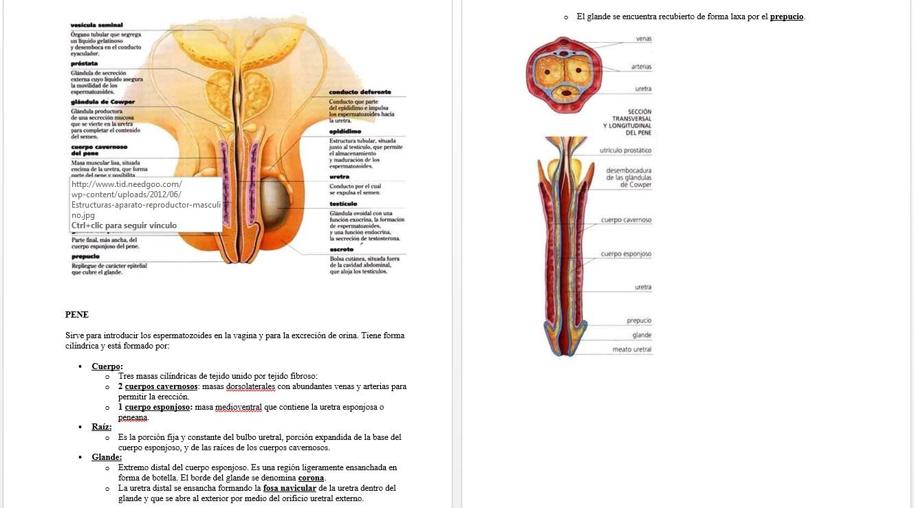 Magnífico Uretra Masculina Anatomía De Radiología Fotos - Imágenes ...
