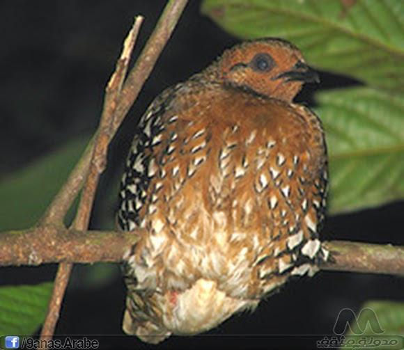 Siamese partridge - Arborophila diversa