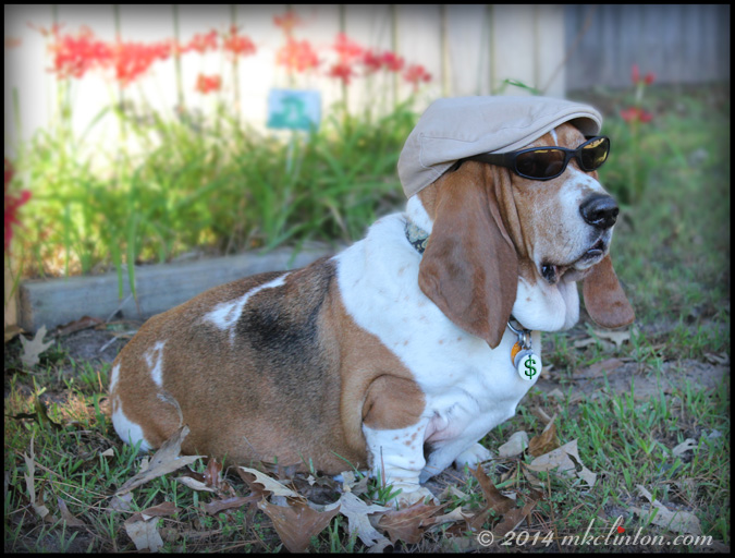 Basset in newspaper boy hat and shades
