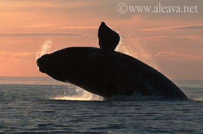 Zwischen Mai und Oktober besuchen die Südlichen Glattwale unsere Küsten