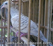 Jual Kutut Silver Lokal