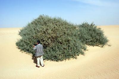 Pohon Ghorqod (Nitraria Retusa)