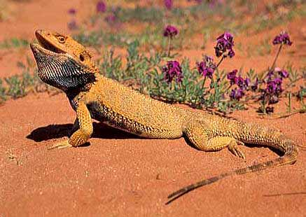 K Dragon Lizard Animals Wallpapers: be...