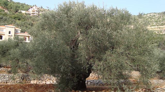 environnement liban m diterran e afrique la route de l 39 oliver au liban. Black Bedroom Furniture Sets. Home Design Ideas
