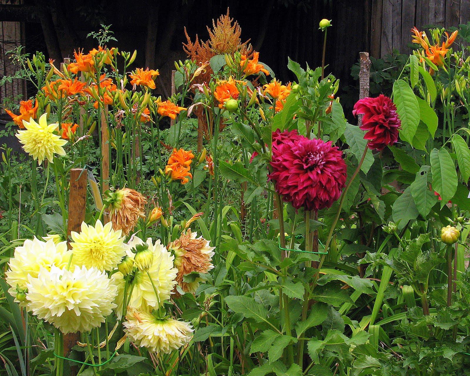 I fiori parlano la dalia for Dalie giganti