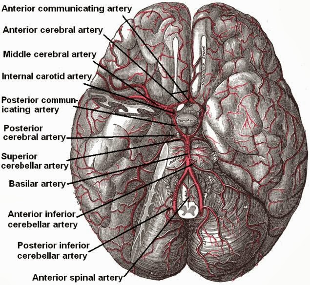 public domain image of arteries in brain
