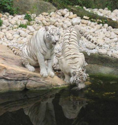 white bengal tiger pictures