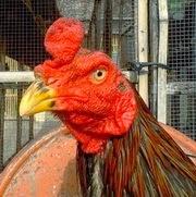 Jual Ayam
