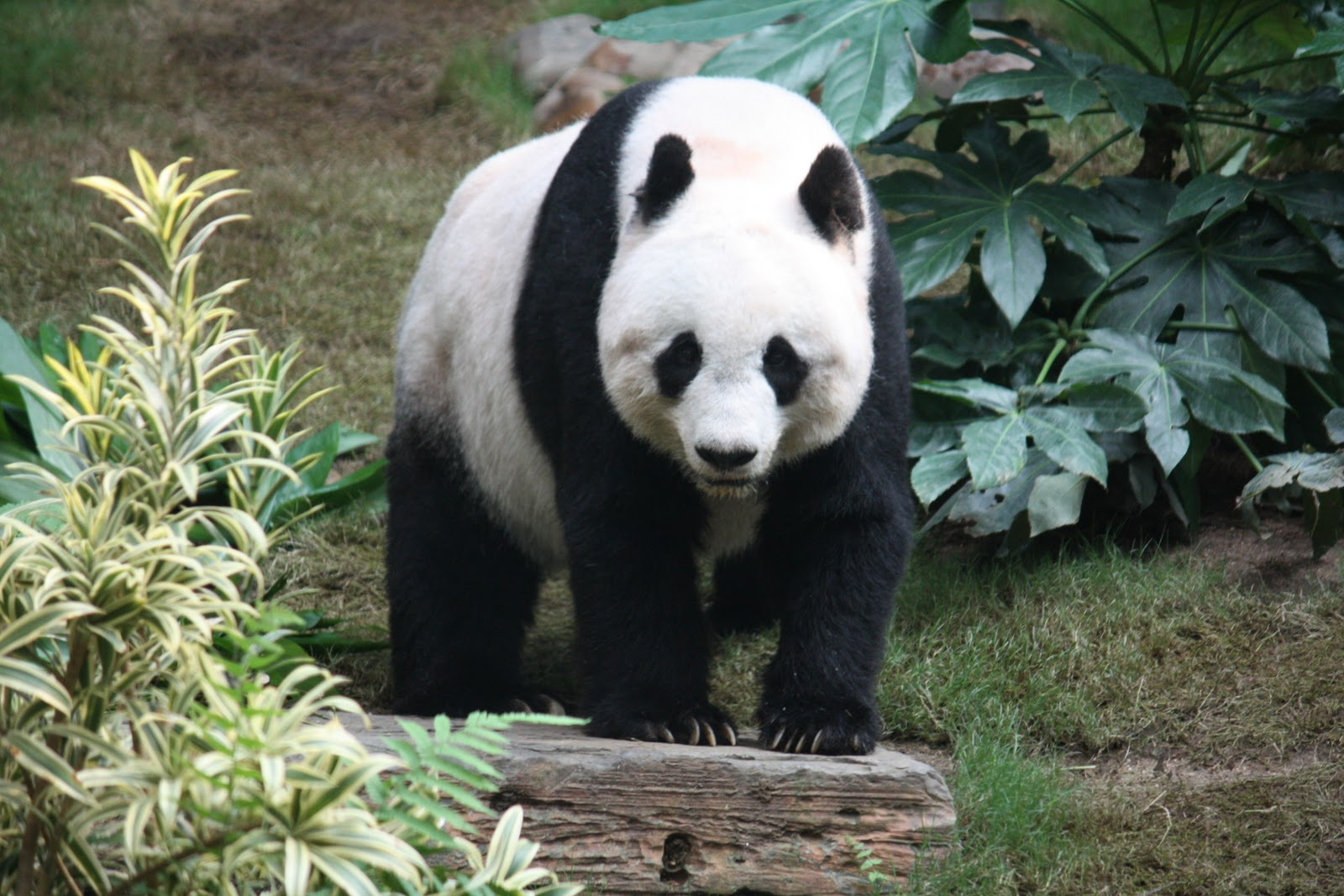 giant pandas Seven out of nine captive giant pandas released to the wild since 2003 have  survived the transition, china's state media said this week.