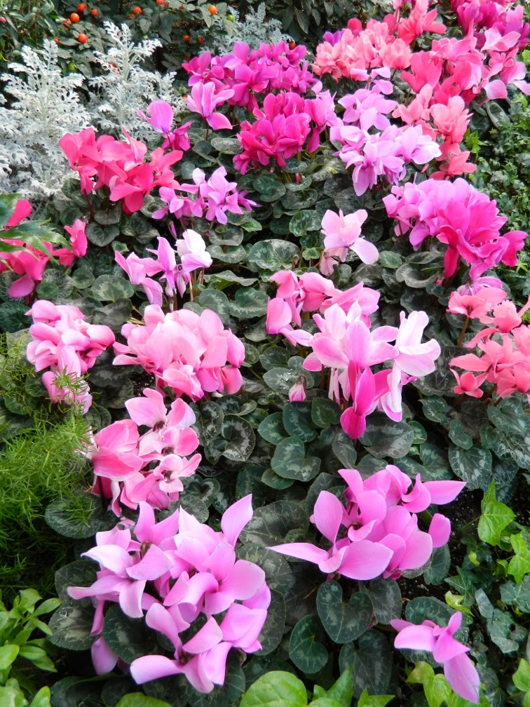 Allan Gardens Conservatory 2014 Spring Flower Show cyclamen massed by garden muses-not another Toronto gardening blog