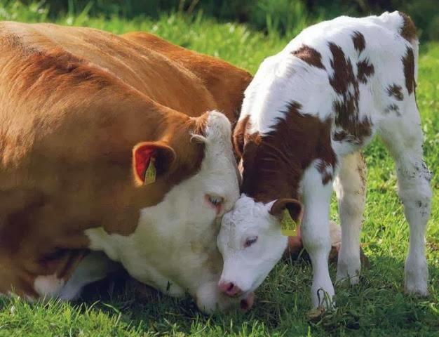 Afbeeldingsresultaat voor koe en kalf