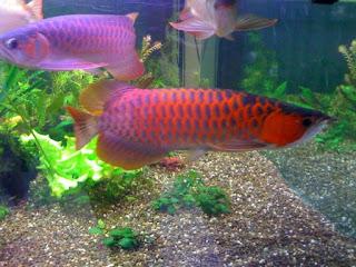 Cara Budidaya Ikan Arwana Untuk Pemula