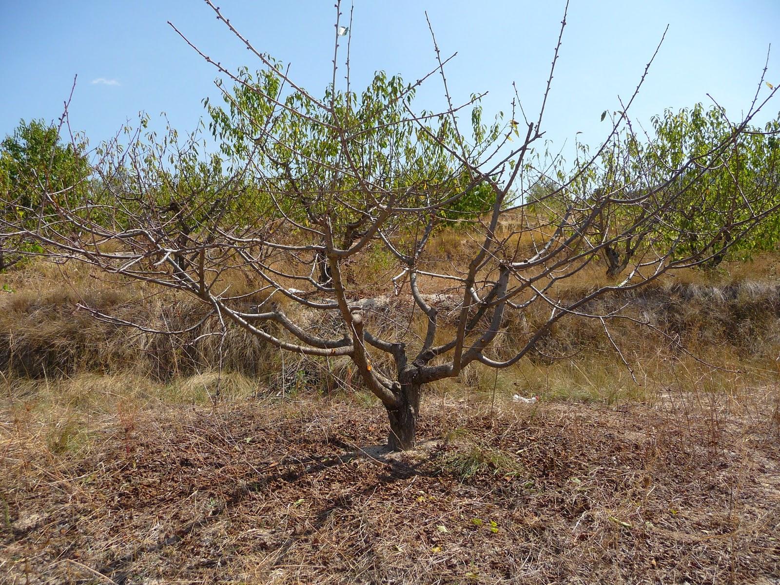 I natura poda del cerezo - Poda del cerezo joven ...