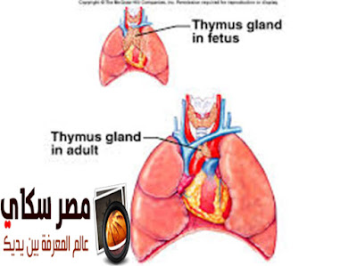 ماذا تعرف عن الغدة الزعترية Thymus Gland