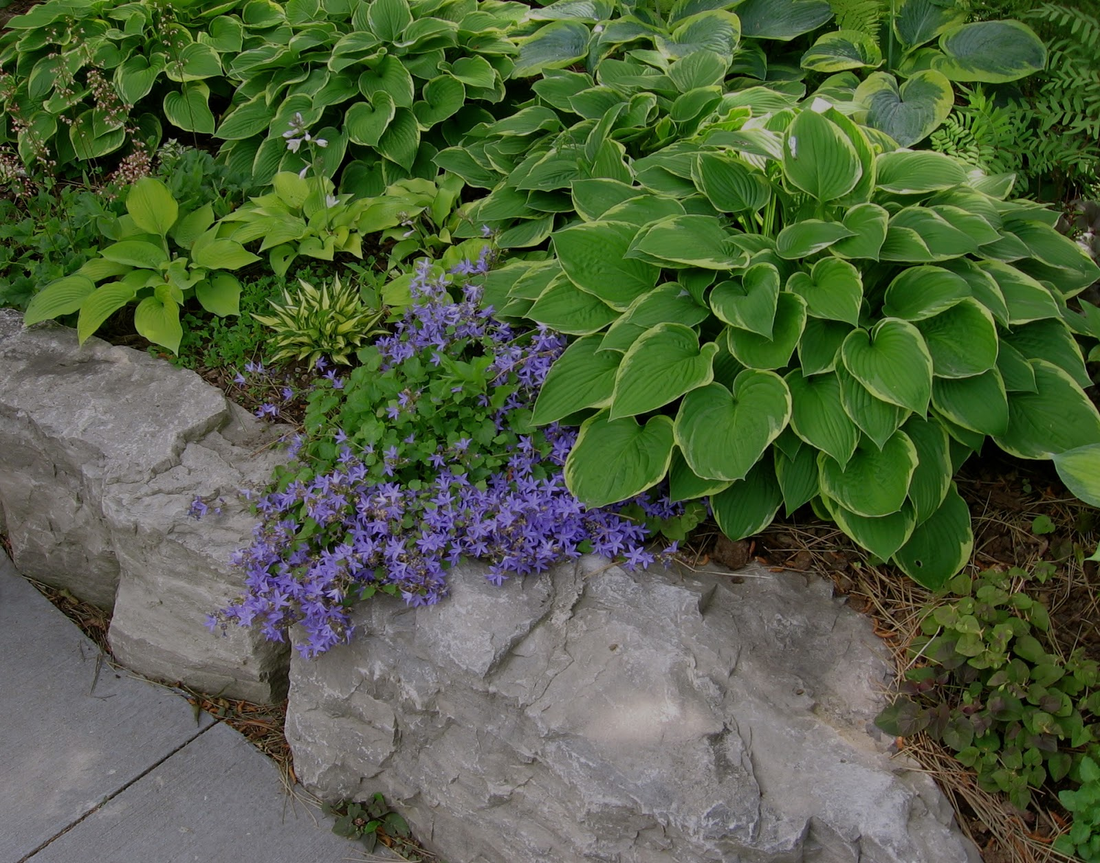 Astrids Garden Design Good Old Reliable Hostas