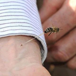 لماذا تموت النحلة بعدما تَلسع الإنسان ؟ 282207_3354311132036