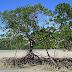 Mangrove, Benteng Pesisir Nusantara