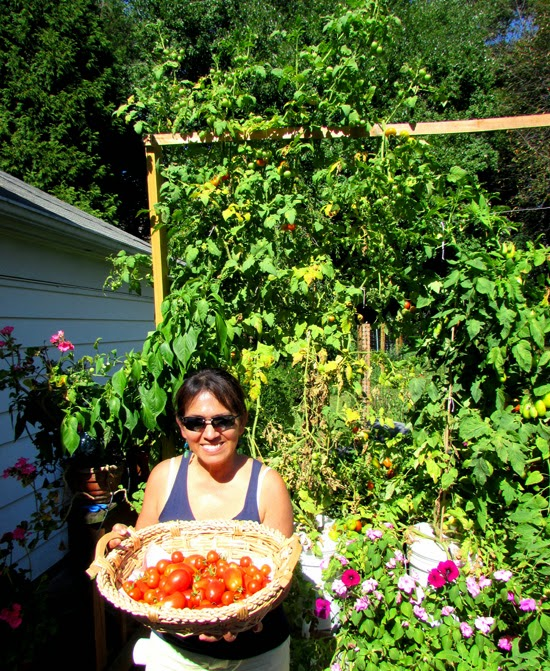 Basket of tomatoes harvested from the hydroponics plants