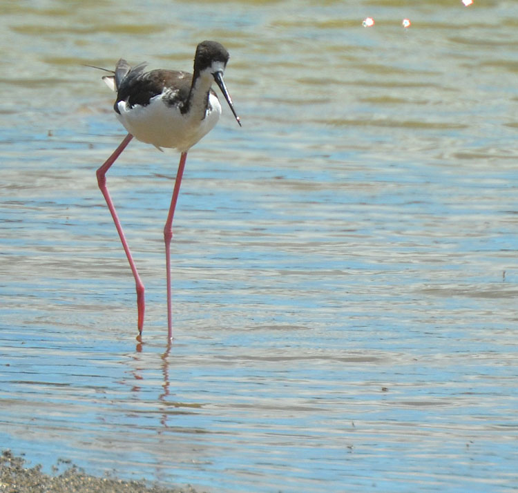 Female Hawaiian Stilt
