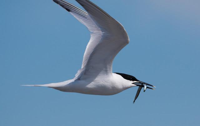 Sandwich Tern - Cemlyn Bay, Anglesey